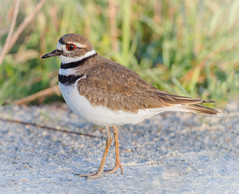 Kildeer posing (tresed47) Tags: 2018 201804apr 20180423delawarebirds april birds bombayhook canon7d content delaware folder kildeer peterscamera petersphotos places season shorebirds spring takenby us ngc npc
