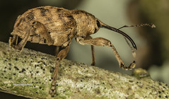 Nut and Acorn Weevil (Curculio) (stevenbailey7) Tags: curculio weevil insects beetles curculionoidea beetle nature wildlife insect fauna tamron detail new spring nikon springtime garden