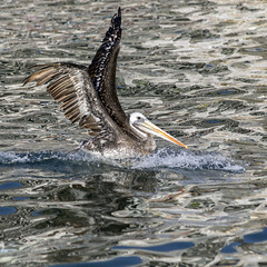 Splash Landing (_aires_) Tags: aires iris pelican bird wings splash reflections sea water peruvianbrownpelican canoneos5dmarkiv canonef70300mmf456isusm ancon anconperu
