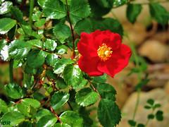 rose (danie _m_) Tags: naturepic rose red flower beautiful lovenature flowerpower leaves nature fleur feuilles printemps
