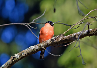 Bullfinch 10.5.2018. Warm spring in Finland.