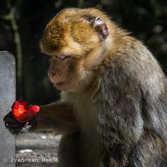 Scary strawberry. (Ivan van Nek) Tags: waldzooostthüringens tierparkgera thüringen deutschland germany allemagne zoo nikon nikond7200 strawberry aardbei fraise d7200 affenwald aap monkey