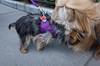 Stitch, Yorkshire Terrier (Charley Lhasa) Tags: ricohgrii grii 183mm 28mm35mmequivalent iso400 ¹⁄₂₅₀secatf28 0ev aperturepriority pattern noflash s001847 dng uncropped taken180507183017 uploaded180520020017 1stars flagged adobelightroomclassiccc73 lightroomclassiccc73 adobelightroom lightroom 4months day stitch yorkie yorkshireterrier newyork unitedstates us charley charleylhasa lhasaapso dog dogs dogsmet walk sidewalk neighborhood upperwestside uws manhattan newyorkcity nyc ny tumblr180520 httpstmblrcozpjiby2y8yx65