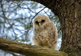 Backlit Owlet