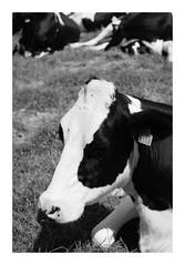 Meuhhh !!! (DavidB1977) Tags: france picardie hautsdefrance gerberoy fujifilm x100f monochrome bw nb vache oise