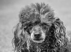 Poppy (Kerry711) Tags: 135mm a6000 alpha bitch black dog f28 girl lens minolta mirrorless pedigree poodle poppy silver sony toy