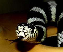 """Hello!"" (EcoSnake) Tags: oscar californiakingsnake lampropeltisgetulacaliforninae snakes reptiles"