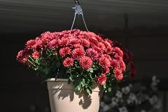 Lovely Pink (Vegan Butterfly) Tags: outside outdoor balcony garden flower flowers plants gardening edmonton city urban pink