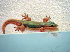 Gecko (markb120) Tags: gecko lizard lacertian tail trail queue train brush line reptile reptilian creeper