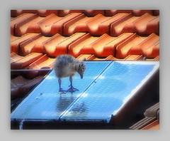 mon petit chouchou ! (Save planet Earth !) Tags: france nice bird oiseau seagull goéland animal amcc nikon