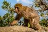 Barbary macaque (Trevor Bowling) Tags: gibraltar barbarymacaque 2018 spain andalucia ape monkey wall rock rockape macaque apes action fur