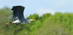 Heron 07 (PARMAR2009) Tags: heron norfolk broads water flying flight grey large bird uk british