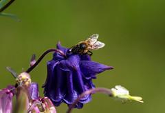 Ec (ka.ec) Tags: nature abeille fleurs bretagne cotes darmor yffiniac insecte