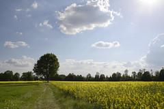 Peaceful landscape with rapeseed (JohannesMayr) Tags: raps bäume rapeseed tree sky himmel gelb yellow flowers spring frühling langenthal schweiz switzerland sun sonne weg way