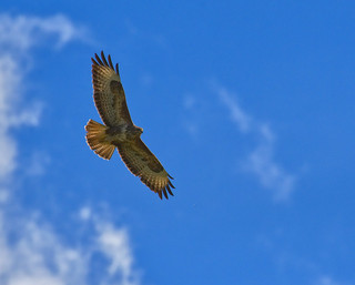 Buzzard flight + 2