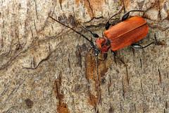 Vuurboktor (andredekesel) Tags: pyrrhidiumsanguineum cerambycidae coleoptera focusstacking studio stagedinsects macro insect beetle bark vuurboktor