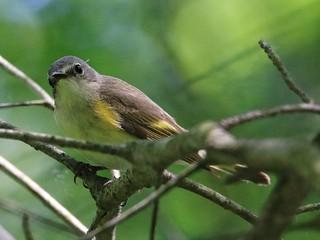 Female Redstart