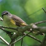 Female Redstart thumbnail