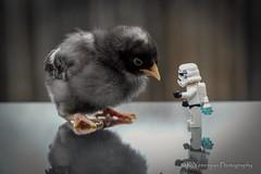 Just Between You and Me! (K.Yemenjian Photography) Tags: lego starwars stormtrooper chick babychick macro