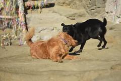 Fela haciendo amigos (photo du chaleins) Tags: roca animal juego perro amigo mascota dog nikon nikonista nikon3400 zenit zenit2870mm arena playa chile horcón