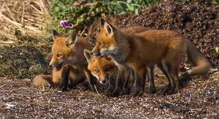 fox kits into the evening sun