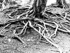 Exposed tree roots (Andy Sut) Tags: tree wood roots exposed monochrome blackandwhite bw leicestershire nature england soil ground trunk