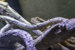 009647-_1024298 (aussiephil1960) Tags: lizard em1mk2 olympus em1markii olympus12100mmf40 cairnsaquarium