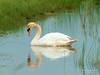 Reflective swan (Marc Haegeman Photography) Tags: swan zwaan nikond850 marchaegemanphotography nikon biesboschnationaalpark netherlands nederland vogels birds animals nature moody reflections