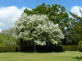 Flowering Tree at Wilton Park