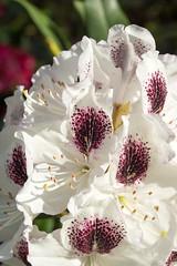 Rhododendron (Bephep2010) Tags: 2016 77 alpha blume blüte bodensee constance deutschland frühling germany insel konstanz lakeconstance mainau makro rhododendron sal50m28 slta77v sony blossom flower island isle macro spring weiss white badenwürttemberg de