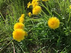 Afternoon Dandelions (sjrankin) Tags: 20may2018 edited hokkaido japan yubari flowers weeds dandelion grass