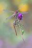 Finalmente insieme... (Raffaella Coreggioli ( fioregiallo)) Tags: nikon macro libellule fioregiallo insetti rugiada