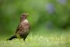 Blackbird (Daryn Mockett) Tags: stunning gorgeous