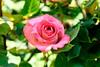 Rose in The  Ofuna Botanical Garden, Ofuna, Kamakura : バラ(神奈川県立フラワーセンター大船植物園) (Dakiny) Tags: 2018 spring may japan kanagawa yokohama nakaward yamate park minatonomieruokapark rosegarden city street plant tree flower rose macro bokeh nikon d750 nikonafsmicronikkor60mmf28ged afsed club it