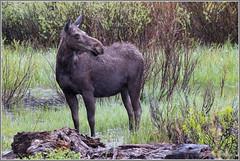 Moose in the Rain 5785 (maguire33@verizon.net) Tags: grandtetonnationalpark moose wildlife