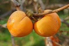 Cachi sul ramo (Darea62) Tags: fruit nature food persimmon caco cibo branch frutta november closeup