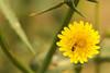 Native bee on non-native dandelion (Dingilingi) Tags: urbanbiodiversity urbannature urbangreenspace australia insects