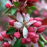"Cincinnati – Spring Grove Cemetery & Arboretum ""Red Crabapple Tree - Blooms"" thumbnail"