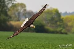 Bald Eagle-1473logo