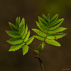 Mountain Ash Leaves (ianbartlett) Tags: outdoor flower macro nature leaves light painted