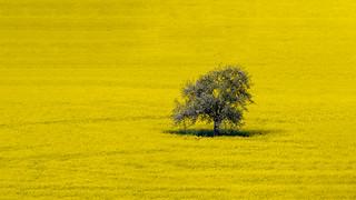 Blooming tree on golden ground - Blühender Baum auf goldenem Boden