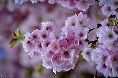 Cherry Blossom (Ananya Saha) Tags: nikon blue floral seasonal flora nature flowers meghalaya shillong beautiful small yellow anthers green leaves pink petals cherry blossom trees