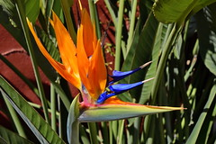 Blue Double Arrow (gerard eder) Tags: world travel reise viajes flowers flores blumen blossom blüte flor strelitzia paradisebirdflower botanic natur nature naturaleza flora