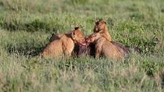 Sunday Lunch (Hector16) Tags: namiriplains eastafrica tanzania serengeti wildlife movie nature lion pantheraleo