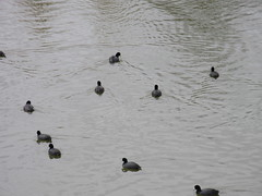 Be-fowled waters (jamica1) Tags: shuswap salmon arm bc british columbia canada coots