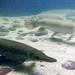 Aligator gar fish