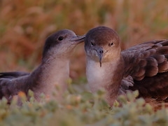 Grooming shearwaters (SharifUddin59) Tags: puffinuspacificus wedgetailedshearwater seabird courtship courting pair birds bird nature animal wildlife kaenapoint kaenapointnar oahu hawaii ardennapacifica