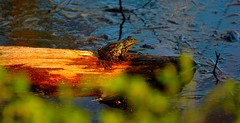Just a frog in the sun. (alex.vangroningen) Tags: frog branch water leaves dof nikond2h sun shade princess