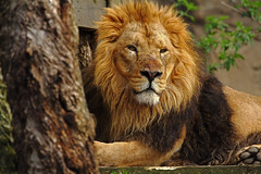 Il guerriero / The Warrior (London Zoo, London, United Kingdom) (AndreaPucci) Tags: london zoo uk lion warrior spring andreapucci