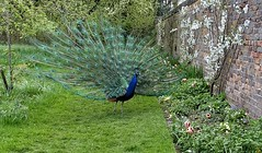 [NT] Peacock at Moseley Old Hall. May 2018 (Simon W. Photography) Tags: nationaltrust moseleyoldhall peacock bird birds birdwatching birdlover aves staffordshire nature solitude solitary alone unitedkingdom uk england english greatbritain gb britain british wolverhampton westmidlands spring spring2018 may may2018 bbcspringwatch springtime simonhx100v sonydschx100v sonyhx100v hx100v colourful colorful rspb feathers